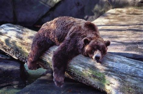 Bear_Sleeping_(11842384304)